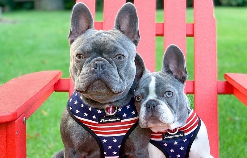 How to choose a French bulldog as your companion?