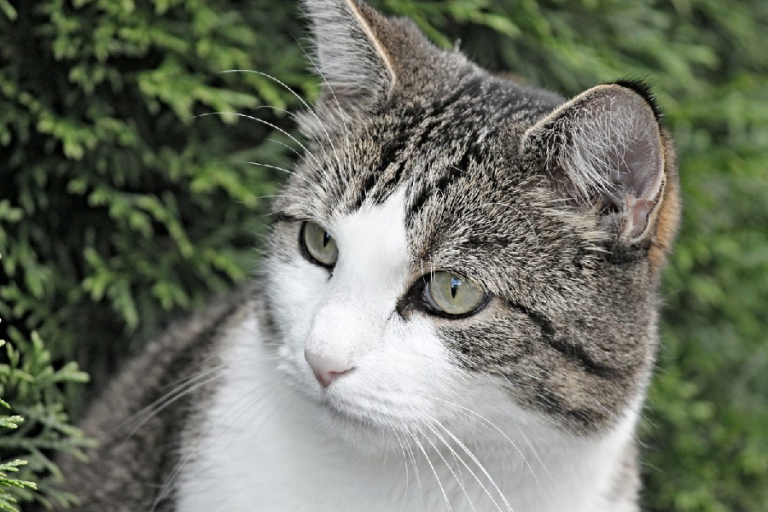 Signs to Determine your Cat Suffers from Hyperthyroidism