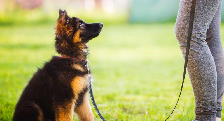How to raise a German Shepherd