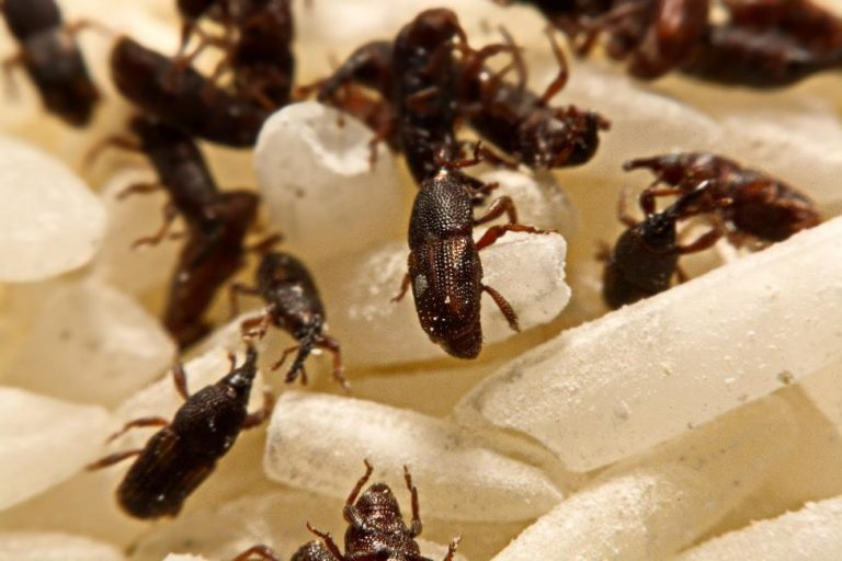 How to Get Rid of the Stored Product Insects from Your Home?